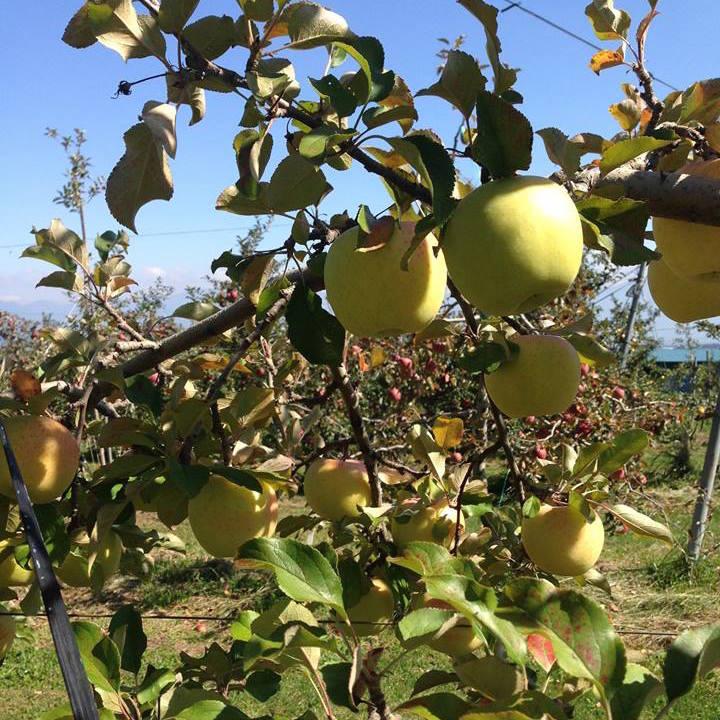 Shinano Gold Apples SECONDS NOT ORGANIC 5 kilos