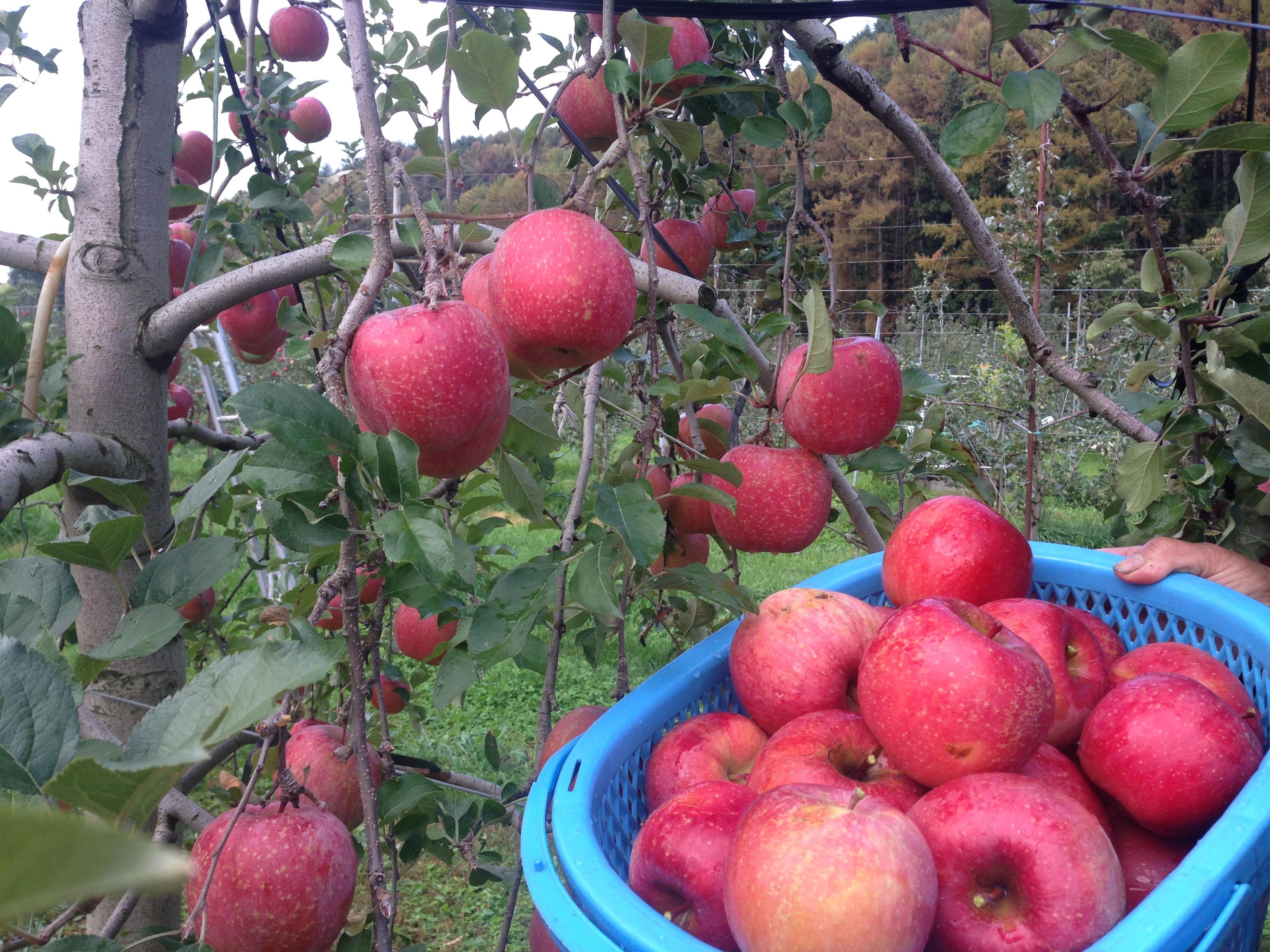 Fuji apples *seconds* *not organic* 5 kilo box