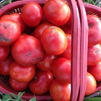 tomatoes 5 kilos end of season special