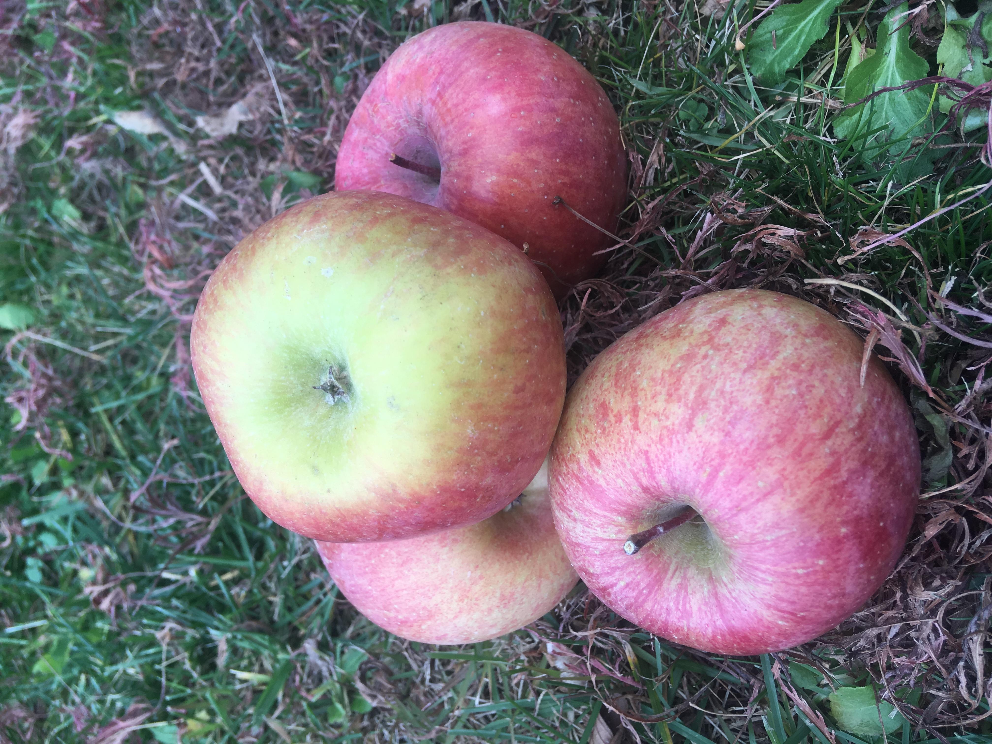Fuji apples *seconds* *not organic* 5 kilo+ box (a little more sour)